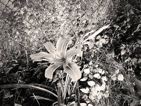 Vintage Tiger Lily by Elisabeth Ann