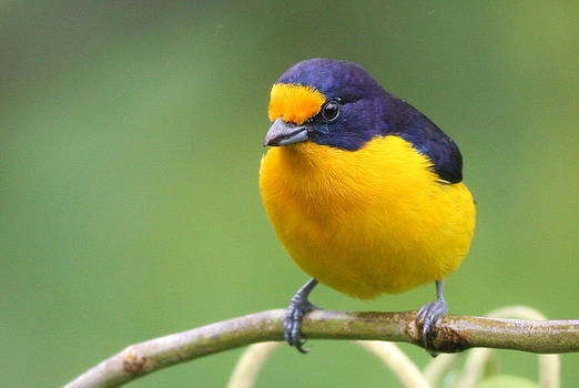 Violaceous Euphonia by Joe Sweeney