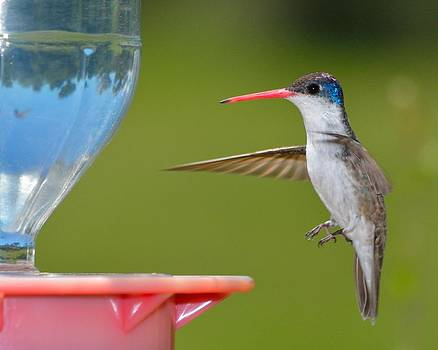 Violet-Crowned Hummingbird by Old Pueblo Photography