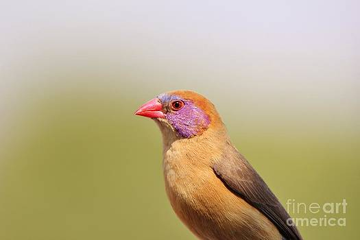 Hermanus A Alberts - Violet-eared Waxbill - Peace of Colors