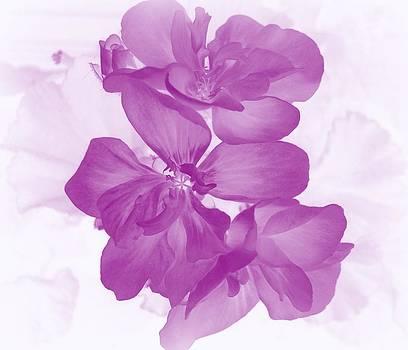 Violet Geranium by Ioanna Papanikolaou