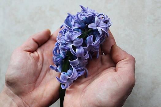 Violet hyacinth by Diana Dimitrova