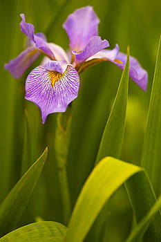 Violet Iris by Phyllis Peterson