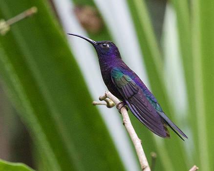Violet Sabrewing in Honduras by Diane Porter