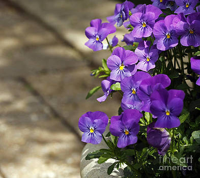 Violets by Denise Pohl