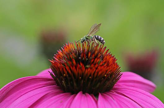 Juergen Roth - Virescent Green Metallic Bee