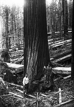 Daniel Hagerman - VIRGIN REDWOOD STAND 1895