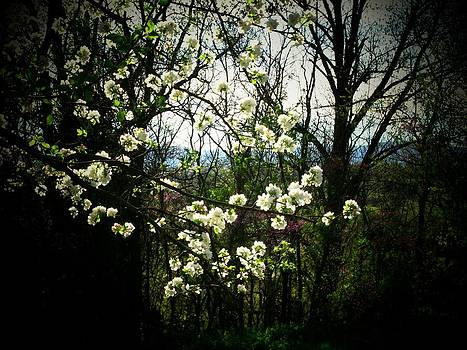 VIrginia Apple Blossoms by Joyce Kimble Smith