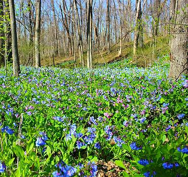Virginia Bluebells by Candice Trimble
