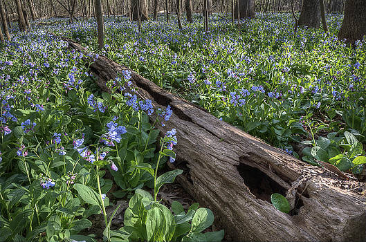 Virginia Bluebells by Michael Donahue