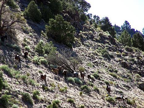 Virginia Highlands Wild Horses by Craig Downer
