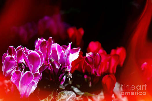 Beverly Claire Kaiya - Vivid Pink and Red Flowers with Flame-like Light Leak
