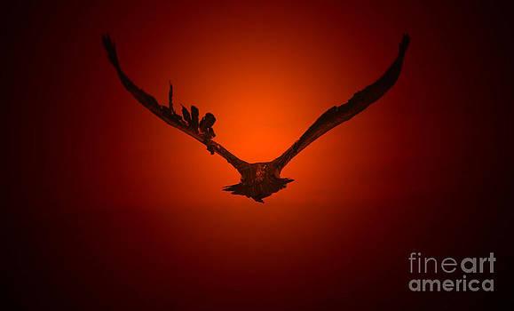 Hermanus A Alberts - Vulture flight into a Golden Sunset