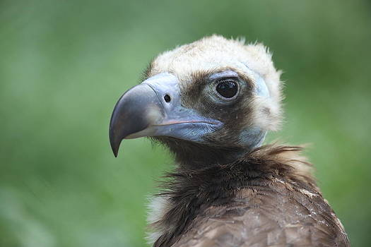 Vulture portrait by Alex Sukonkin