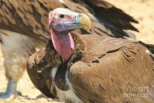 Hermanus A Alberts - Vulture Portrait of Power