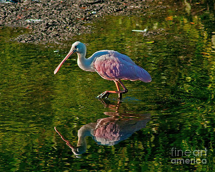 Stephen Whalen - Wading Pink Spoonbill
