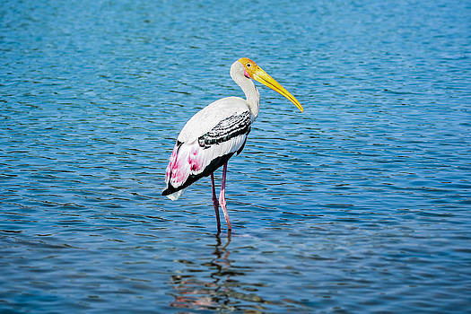 Wading Stork by Nila Newsom