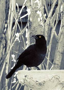 Gothicrow Images - Waiting Grackle