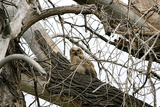 Waiting Owlet by Rebecca Adams
