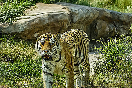 Walking Tiger by Jeremy Linot