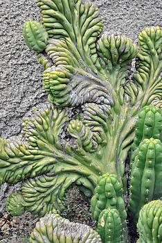 Wall Cactus by Misty Stach
