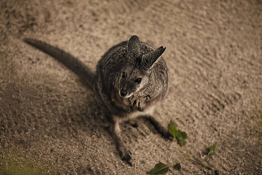 Wallaby by Jeff  Jacobson