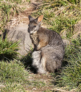 Steven Ralser - wallaby