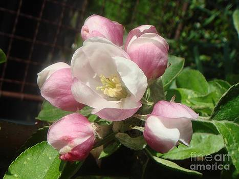 Waltz apple blossoms by Dana Hermanova