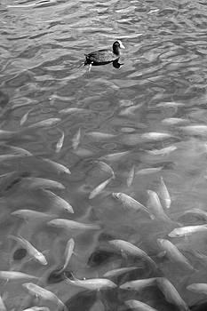 Robert Meyers-Lussier - Waokele Pond and Koi Study 4