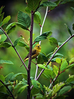 Kathy J Snow - Warbler in the Alders