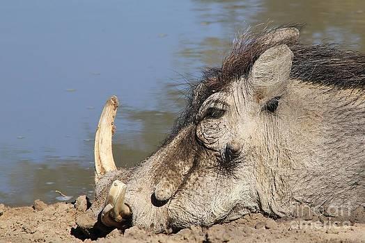 Hermanus A Alberts - Warthog Blue Nap