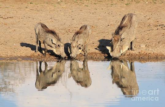 Hermanus A Alberts - Warthog Reflection and Peace
