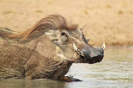 Hermanus A Alberts - Warthog Swim