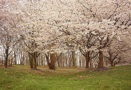 Kim Hojnacki - Washington DC Cherry Blossoms