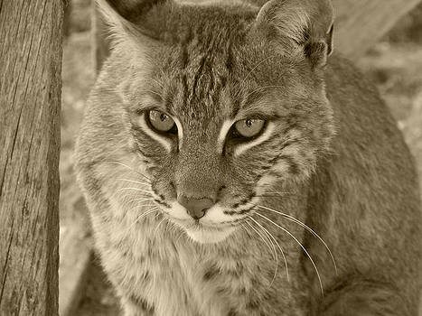 Watchful Eyes-Sepia by Jennifer  King