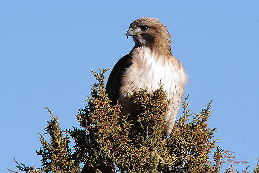 Watchful Hawk by Sheryl Cox
