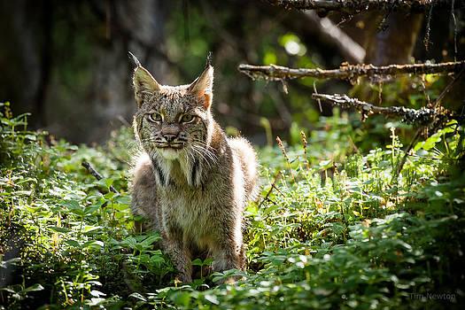 Watchful Mama Lynx by Tim Newton