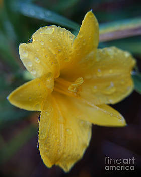 Water Drenched Yellow Bloom by Sherry Vance