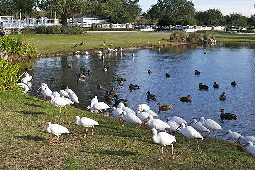 Water Fowl Gathering by Jim Hubbard