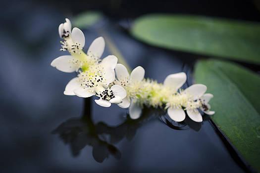 Priya Ghose - Water Hawthorn