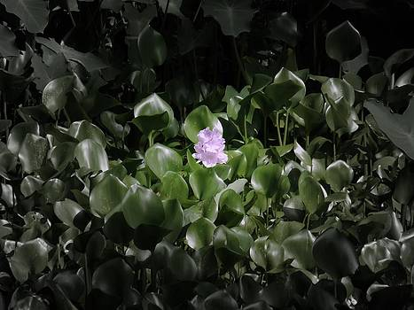 Water Hyacinth by Daniel Chowdhury