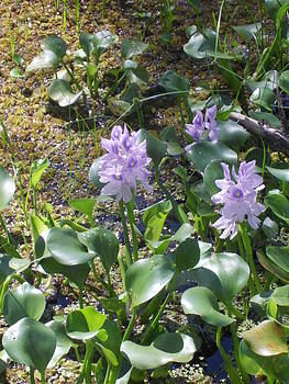 Shere Crossman - Water Hyacinth