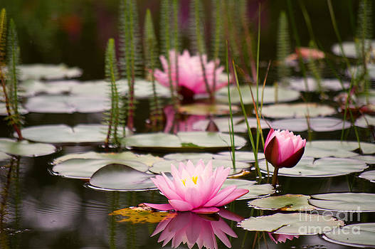 Angela Doelling AD DESIGN Photo and PhotoArt - Water lilies