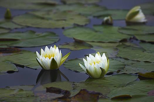 Bill Chambers - Water Lilies
