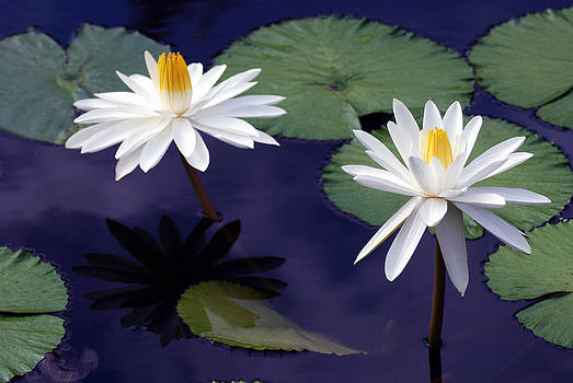 Water Lilies by Daniel B McNeill