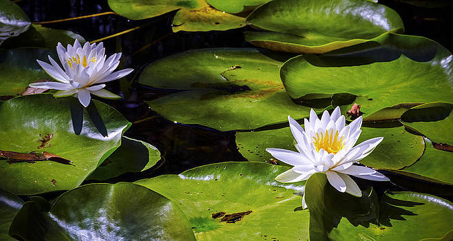 Water Lilies  by Greg Reed