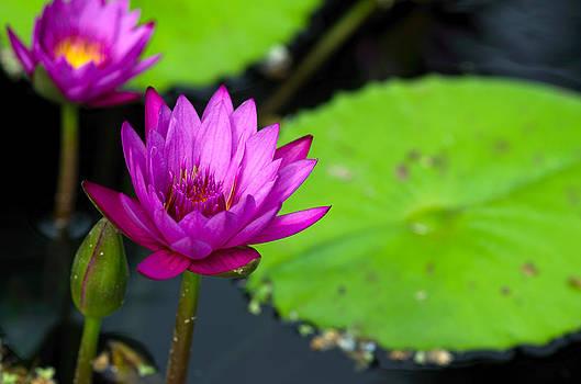 Water Lilies by Ian Wilson