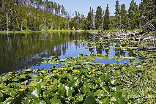 Teresa Zieba - Water lilies in Yellowstone