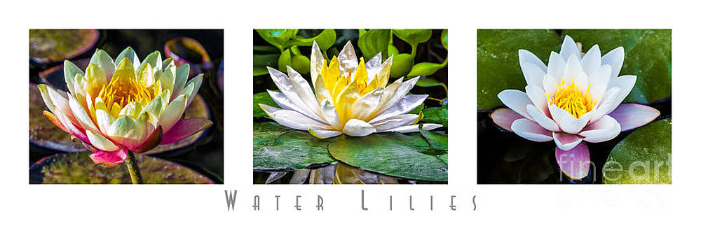 Water Lilies Triptych with title by David Doucot