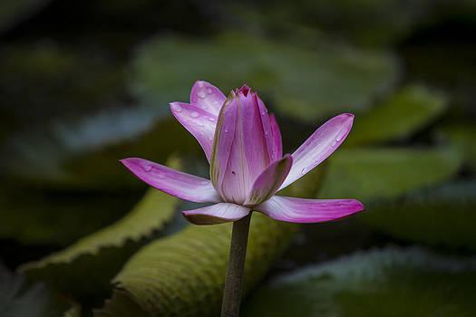 Water Lillies8 by Charles Warren
